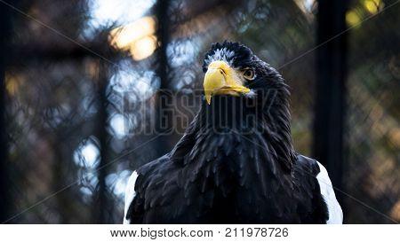 The Portrait Of Steller's Sea Eagle, Haliaeetus Pelagicus, At Sunset