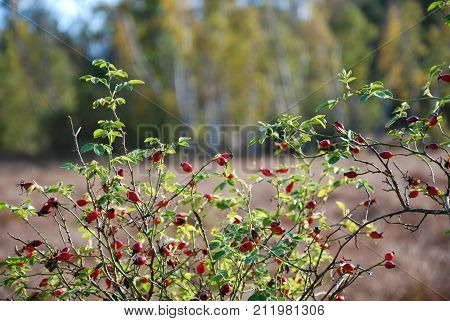 Sunlit rosehip shrub with ripe red berries