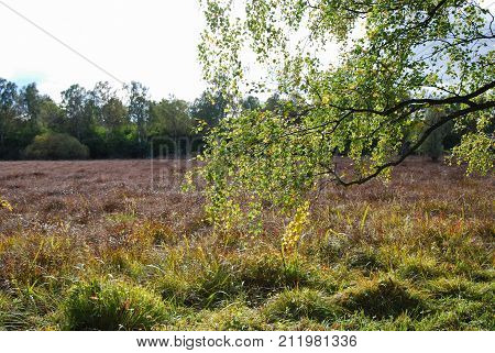 Marshland in fall season colors with a backlit branch of a birch tree