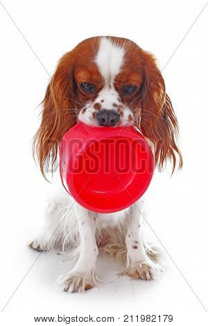 Hungry dog with bowl. Cute cavalier king charles spaniel dog photo in studio white isolated background. Dog cut out. Hungry dog illustration. Cutest.
