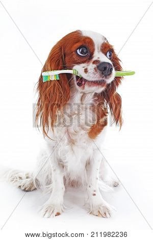 Dog with toothbrush. Cavalier king charles spaniel dog photo. Beautiful cute cavalier puppy dog on isolated white studio background. Trained pet photos for every concept. Cute.