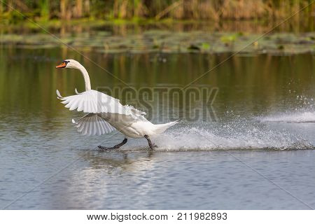 Mute Swan (cygnus Olor) Running On The Water Surface With Reed
