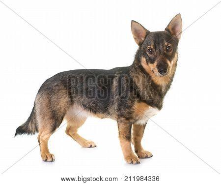 Swedish Vallhund in front of white background