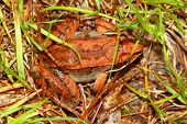 Wood Frogs (Rana sylvatica) are adapted to handle cold temperatures and occur throughout northern North America. poster
