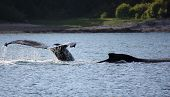 Humpback whale in the waters of Alaskas North Passage poster