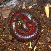 American Giant Millipede (Narceus americanus) in a northern Illinois natural area. poster