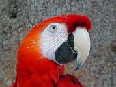 A Scarlet Macaw sitting in a tree in the Amazon rainforest poster