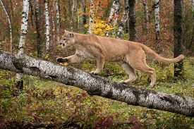 Adult Male Cougar (Puma concolor) Climbs Up Birch Branch - captive animal