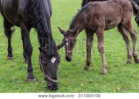 Black Kladrubian Horse, Mare With Foal.black Horse, Mare With Foal. Birth Of Foal In Spring