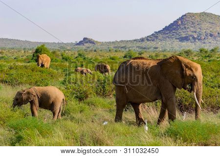 A Elephant Family In The Bush Of The Samburu National Park. The Elephant Family In The Bush Of The S