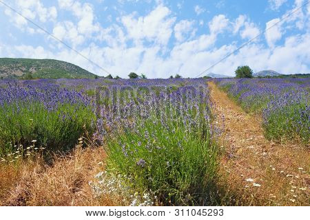Lavender Field In Mountain Valley Of Dinaric Alps. Bosnia And Herzegovina, Republika Srpska, Zubacko
