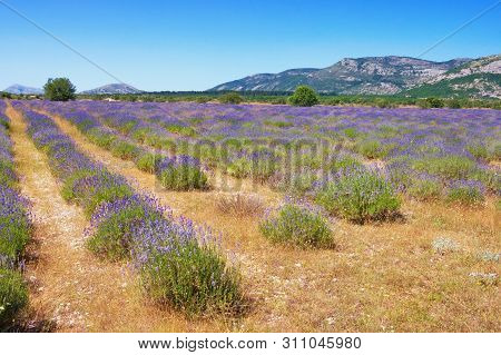 Mountain Valley In  Dinaric Alps With Field Of Lavender. Bosnia And Herzegovina, Republika Srpska, Z