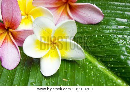Colorful Plumeria flowers on banana leaf