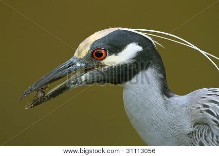 Yellow-crowned Night Heron Eating a Crab - Sanibel Island, Florida