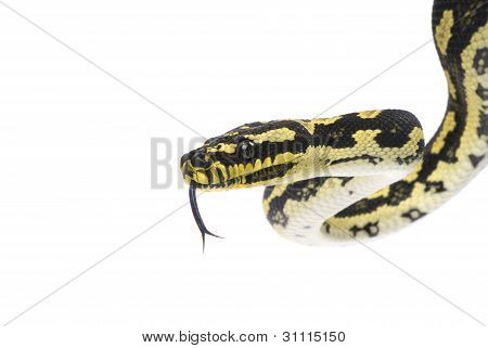Black and gold jungle python flicking tongue on white background