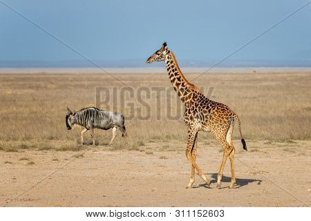 A Masai giraffe and a white-bearded wildebeest walk through the dusty plains of Amboseli National Park, Kenya.