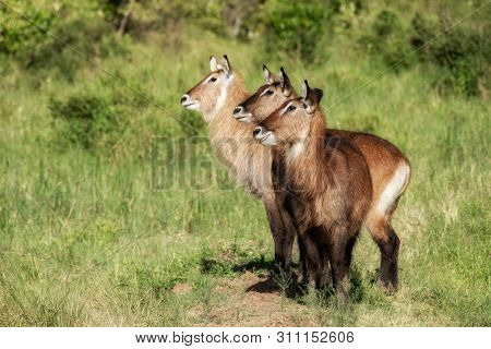 Group of three waterbuck in the grass and scrub of the Masai Mara, Kenya. Side profile with all three animals looking in the same direction.
