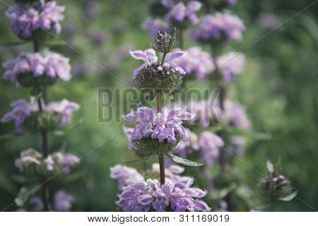 Phlomis Tuberosa. Flowers Of Phlomoides Tuberosa. Honey Plant.