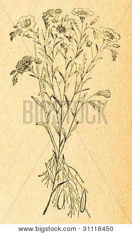 Lin - gammal illustration av okänd konstnär från Botanika Szkolna na Klasy Nizsze, författare Jozef Rostaf