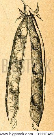 Ärt pod - gammal illustration av okänd konstnär från Botanika Szkolna na Klasy Nizsze, författare Jozef Ros