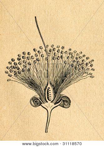 Accacia blomma - gammal illustration av okänd konstnär från Botanika Szkolna na Klasy Nizsze, författaren Jo
