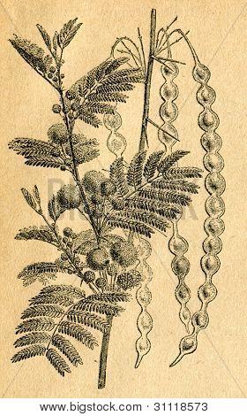 Acacia producerar tuggummi - gammal illustration av okänd konstnär från Botanika Szkolna na Klasy Nizsze, aut