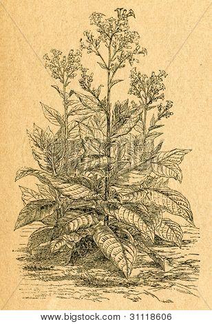 Tobacco plant - old illustration by unknown artist from Botanika Szkolna na Klasy Nizsze, author Jozef Rostafinski, published by W.L. Anczyc, Krakow and Warsaw, 1911 poster