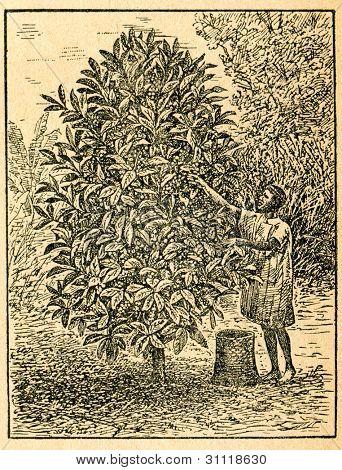 Skörd kaffebönor - gammal illustration av okänd konstnär från Botanika Szkolna na Klasy Nizsze,