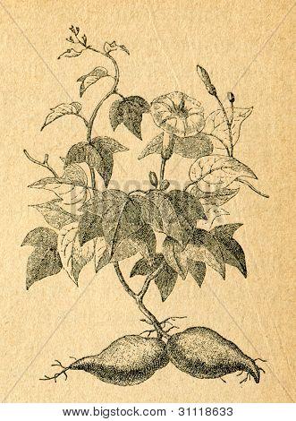 Sötpotatis - gammal illustration av okänd konstnär från Botanika Szkolna na Klasy Nizsze, författare Joze