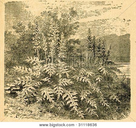 Blommande Akantus - gammal illustration av okänd konstnär från Botanika Szkolna na Klasy Nizsze, författare
