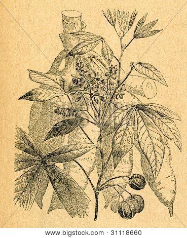 Kassava - tuber och kvist - gammal illustration av okänd konstnär från Botanika Szkolna na Klasy Nizsze,