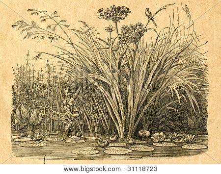 Damm - gammal illustration av okänd konstnär från Botanika Szkolna na Klasy Nizsze, författare Jozef Rostaf