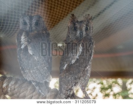 An Two Owl With Large Round Eyes Sits In Cage