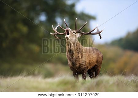 Close-up Of Red Deer Stag Calling During Rutting Season In Autumn, Uk.