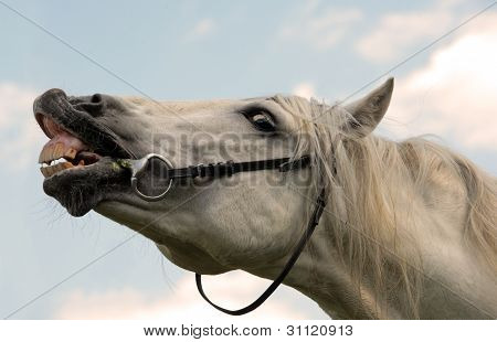 White Horse Smiling and laughing
