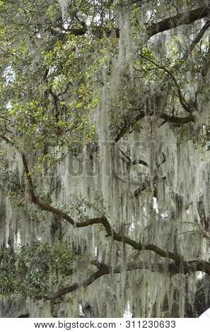Detail Of Spanish Moss (tillandsia Usneoides) Veils Hanging From Southern Live Oak Trees (quercus Vi