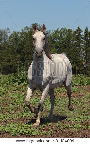 Andalusian stallion running