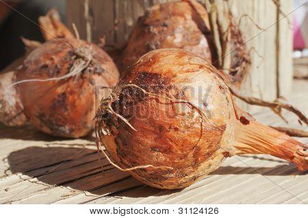 Bulbs Of Onions