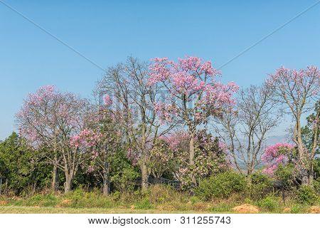 Brazilian Floss Silk Trees, Or Kapok Trees, Ceiba Speciosa, Flowering Near Barberton In The Mpumalan
