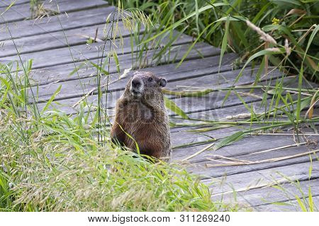 The Groundhog (marmota Monax), Also Known As A Woodchuck, American Rodent