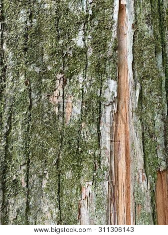 Tree Trunk And Mos For Texture Background