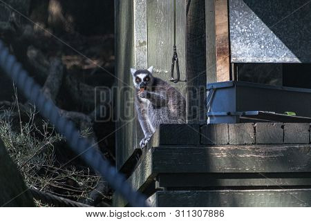 Ringtailed Lemur Having A Snack Of Fruit