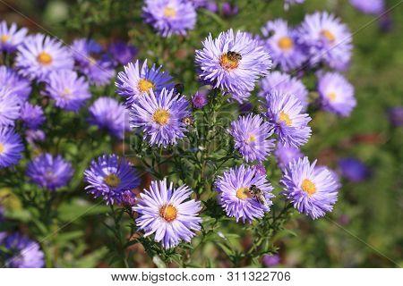 Small Purple Violet Chrysanthemums In An Autumn Garden With Bee On Them. Chrysanthemum Violet Flower