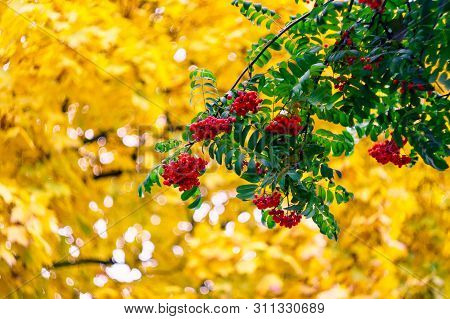 Green Branches With Bunches Of Red Rowan( Sorbus Aucuparia, Tree Mountain Ash) On The Background Of