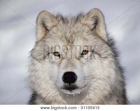 Alpha Male Arctic Wolf