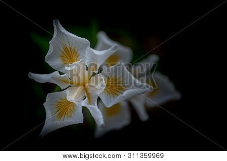 White African Iris, Dietes Iridioides, On Dark Background, Top View. This An Ornamental Plant In The
