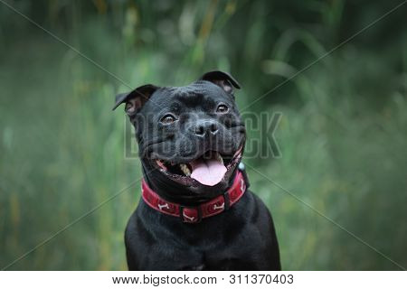 Cute And Happy Black Staffordshire Bull Terrier Sitting In The Forest