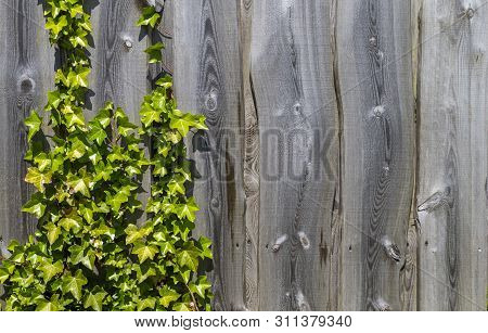 The Photo Shows A Wooden Fence Covered With Plant In The Sun