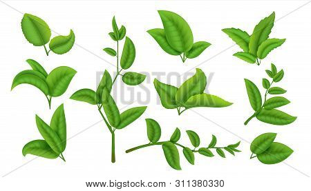 Realistic Tea Leaves And Branches. Green Plants And Herbs Isolated On White, Natural Tea Leaf Collec