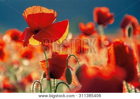 Red Poppies In The Field In Evening Light. Beautiful Nature Background With Flowers. Sunny Weather.